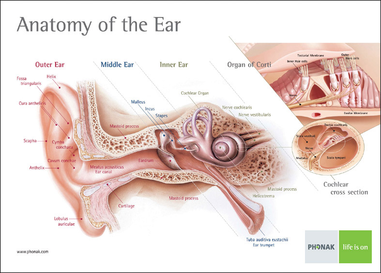 The most common types of hearing loss areInner Ear Cochlea Anatomy